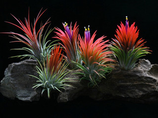 How to care for your air plants