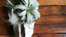 Plant Art | Tillandsia Mix