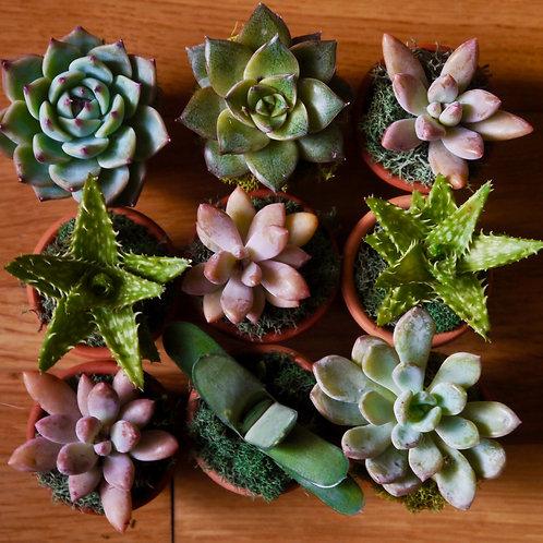 Mini Succulent Planted Pots