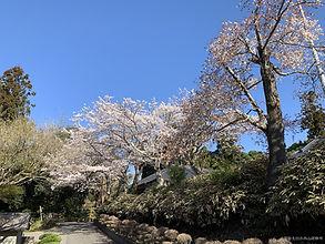 本館南側の桜並木
