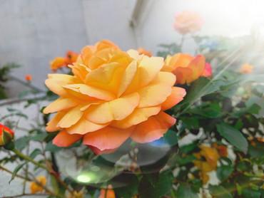 2021/6/12 平和を願う心【アンネのバラ】