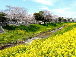 源氏川の桜と菜の花