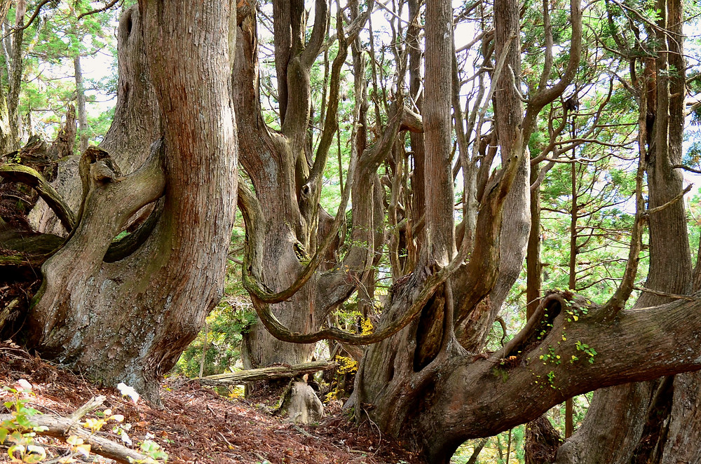 Giant Cedar Tree Forest in Kyoto Countryside