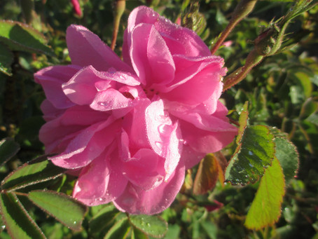 Rose oil- part 1 of a 3 part series- the harvest and the distillation