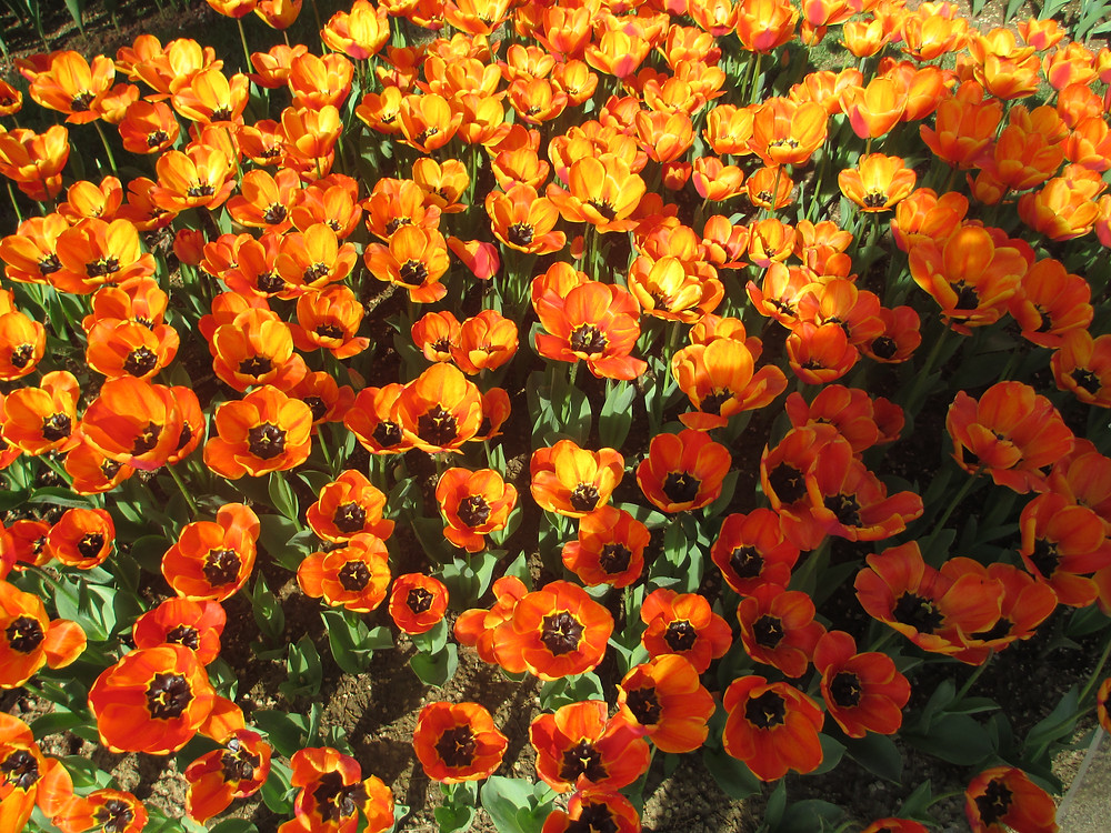 orange tulips with black centres.JPG