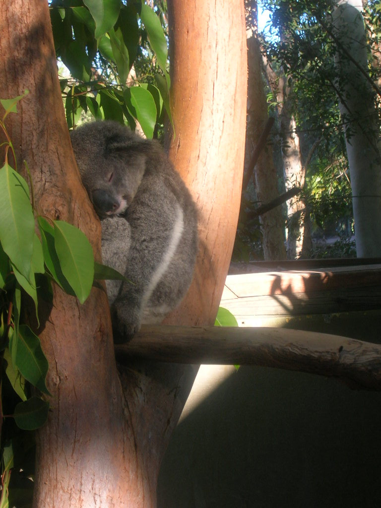koala asleep in tree.JPG