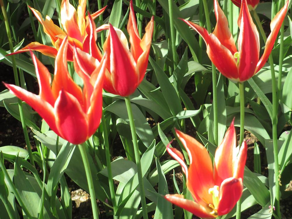 pointy tulips.JPG