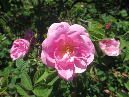 The rose in history – part 2 of the rose series