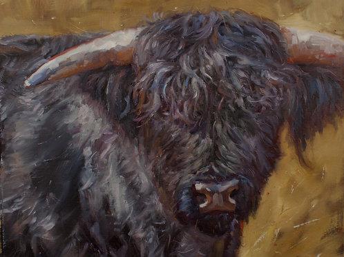 Dark Highland Cow