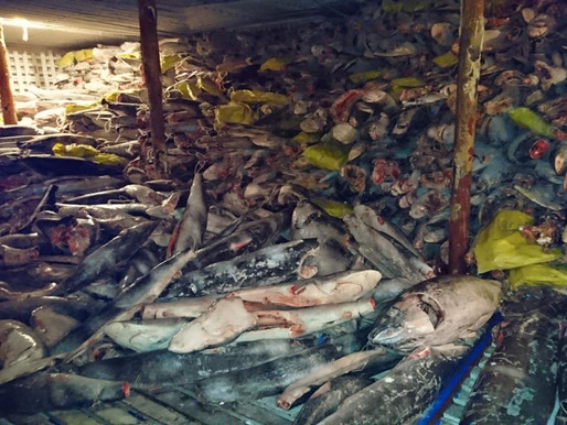 Thousands of Sharks Found on Boat in Huge Illegal Haul