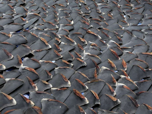 Why appetite for shark fin continues to grow despite efforts to stem the slaughter
