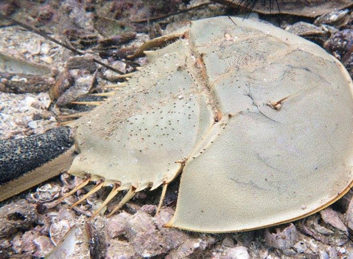 Horseshoe crabs in Hong Kong