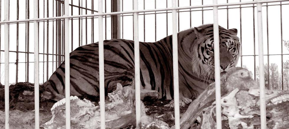 Tigre couché 3  sepia.jpg