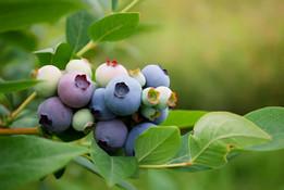 blueberries-1.jpg