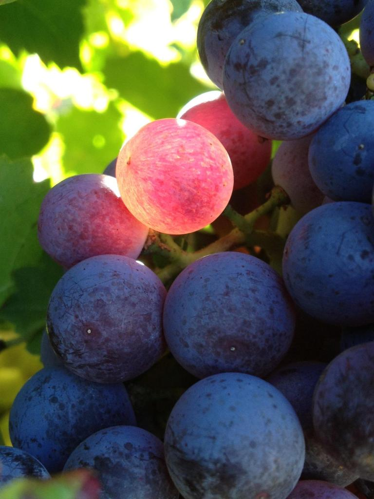 Sun ripened grapes