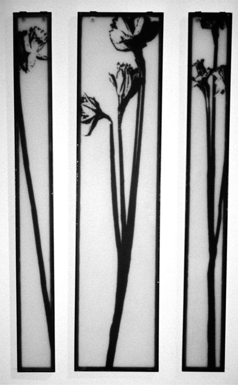 Daffodile01.jpg