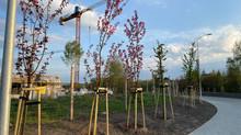 Nasady drzew - Glinki Szczecin