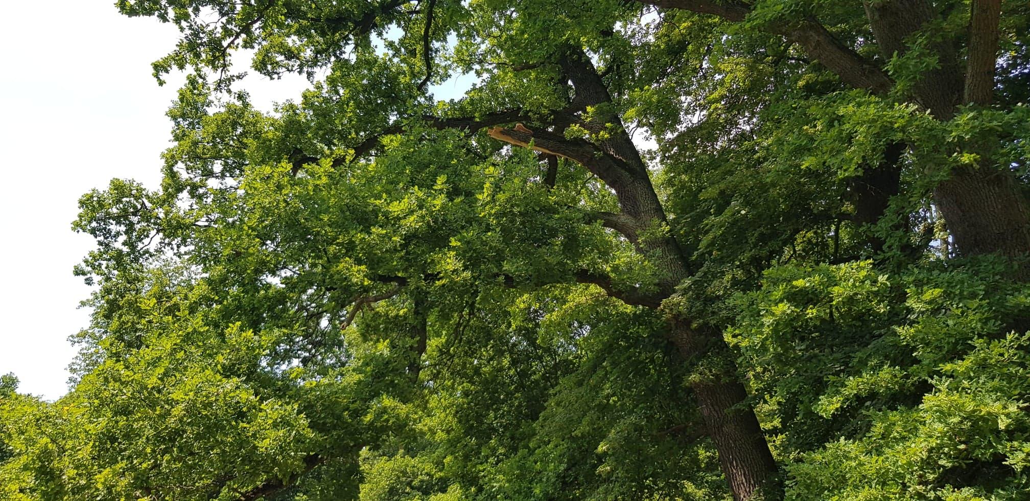 Wyłamany_konar_drzewa_wskutek_wichury