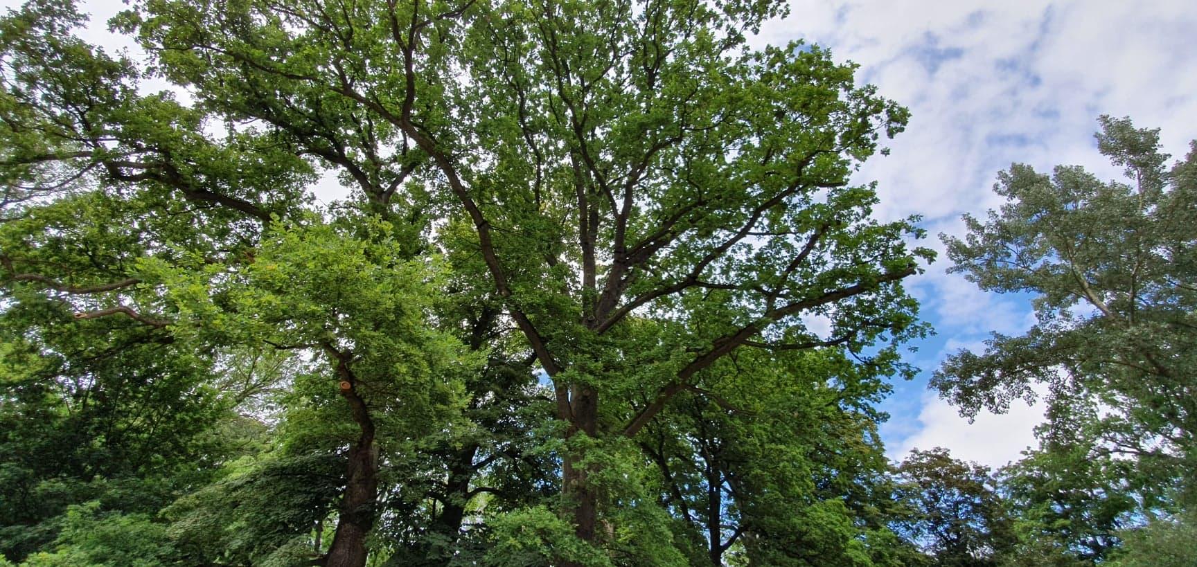 Skrócenie wygonionych gałęzi