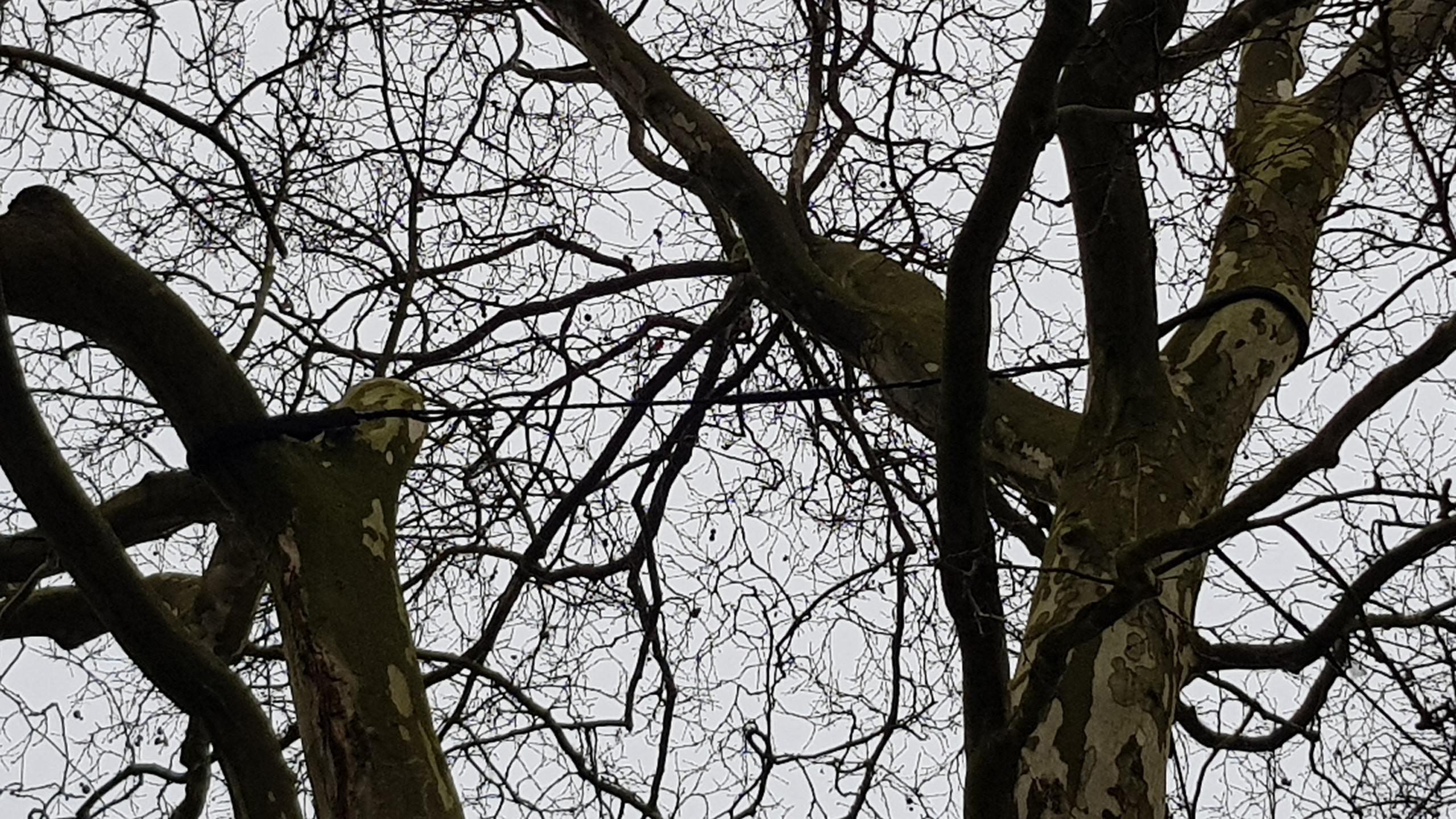 wiązanie_typu_Cobra_na_drzewie
