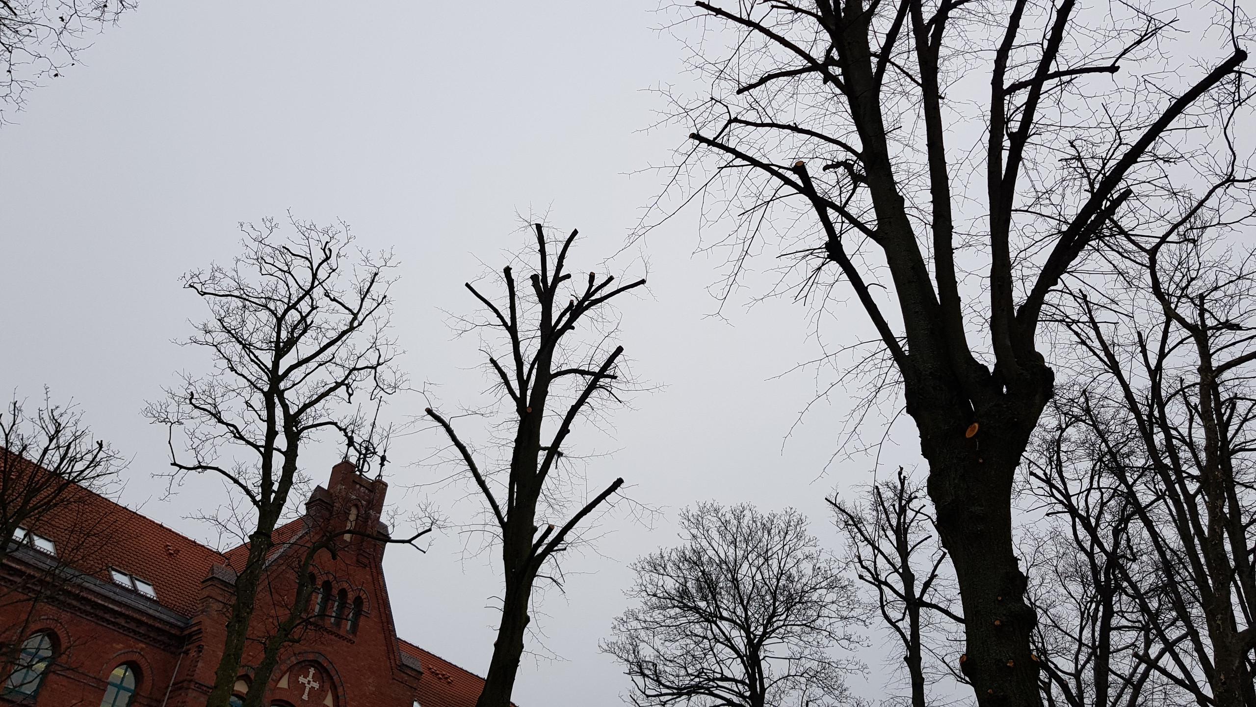 drzewa_po_przycince_formującej