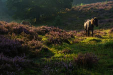Wild horse between the heather
