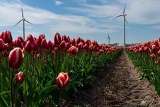 Tractor track in a tulip field