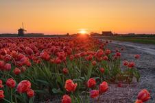 Sunset in a tulip field