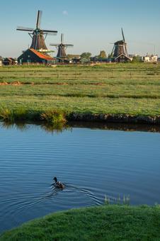 Duck in the Zaanse Schans