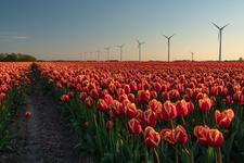 Tulipfield in North Holland