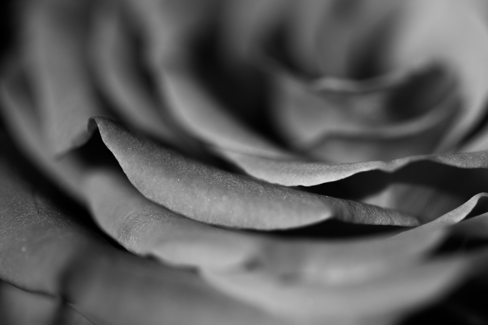 black and white rose de Laurent Sauvel