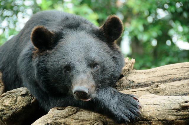 ツキノワグマ講演会「私たちが知らないクマの生態・クマの魅力」