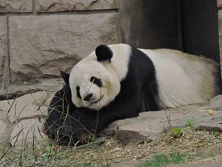 やっぱりパンダはクマだ
