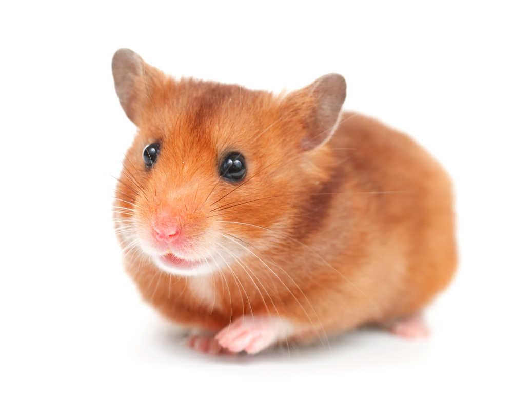 'Harold the Hamster'