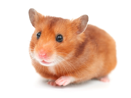 Sind Hamster so gierig wie Menschen?