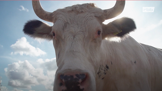 Tier zuliebe - Missverständnis Kuh