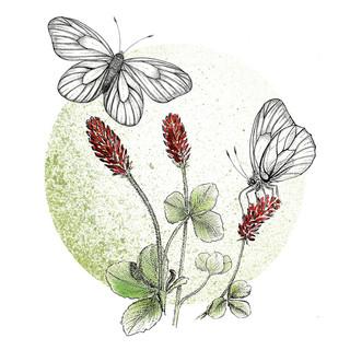 23. Sommerfuglehaver - Blodkløver og sortåret hvidvinge