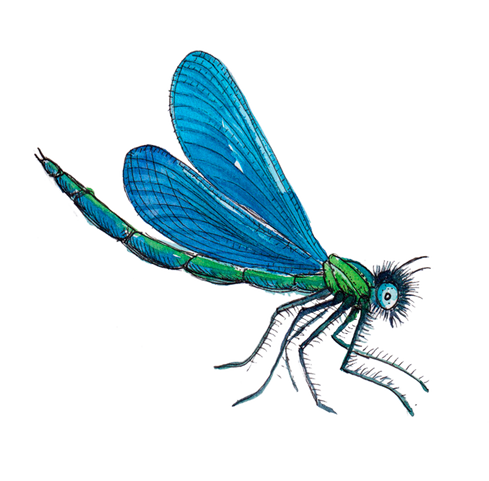 Blå vandnymfe