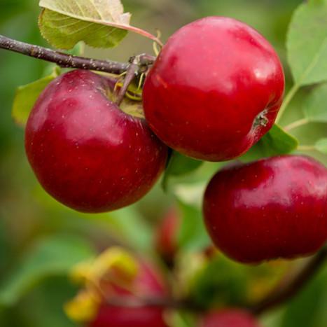 Berrifine – frugtplantage