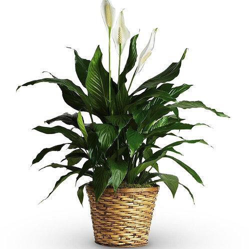 Planta de spathiphylum