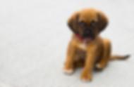 子犬の肖像画