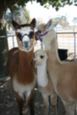 Alpaca products at Murrumbateman Market