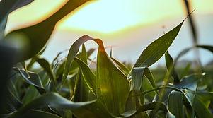 Zblízka kukuřičné pole