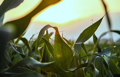 Nærbilde av Corn Field