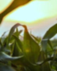 Close Up of Corn Field