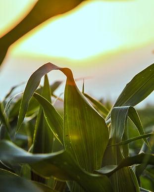Закройте кукурузное поле