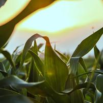 Feche acima do campo de milho