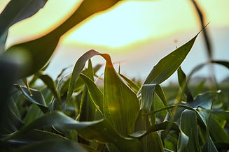 Close Up of Corn Field