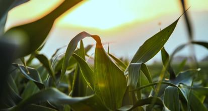 Close-up van de Corn Field