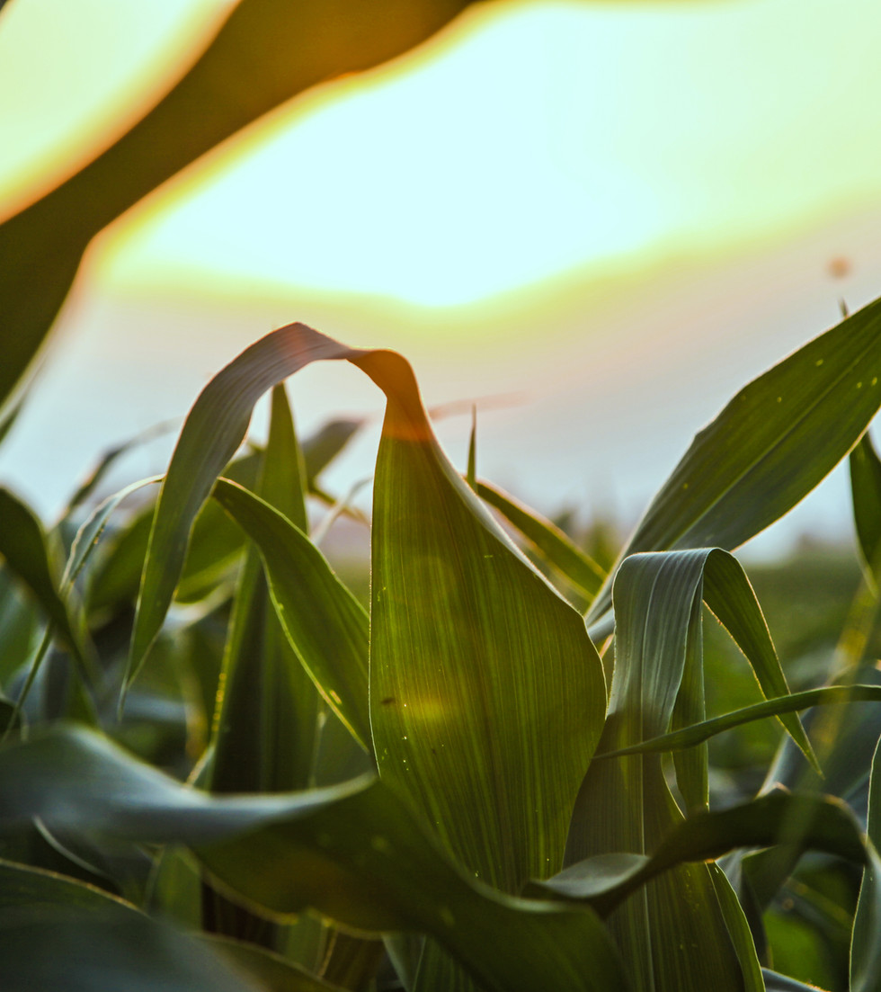 Gros plan du champ de maïs